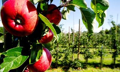 Äpplen alnarp V Wrange.jpg