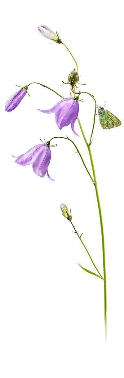 Liten blåklocka Campanula rotundifolia. Bild: Christopher Reisborg