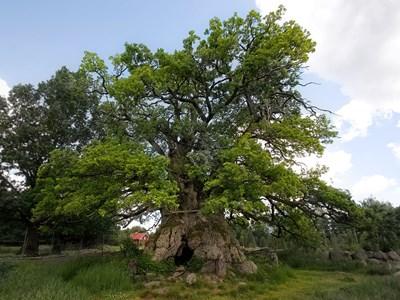 Skyddsvärda träd. Foto: Michael Krikorev