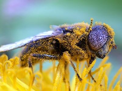 Tångslamfluga Eristalinus aeneus. Foto: Krister Hall.