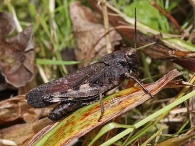 Trumgräshoppa Psophus stridulus. Foto: Tomas Carlberg