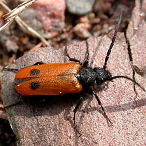 Bibagge Apalus bimaculatus: Foto: Niklas Lönell