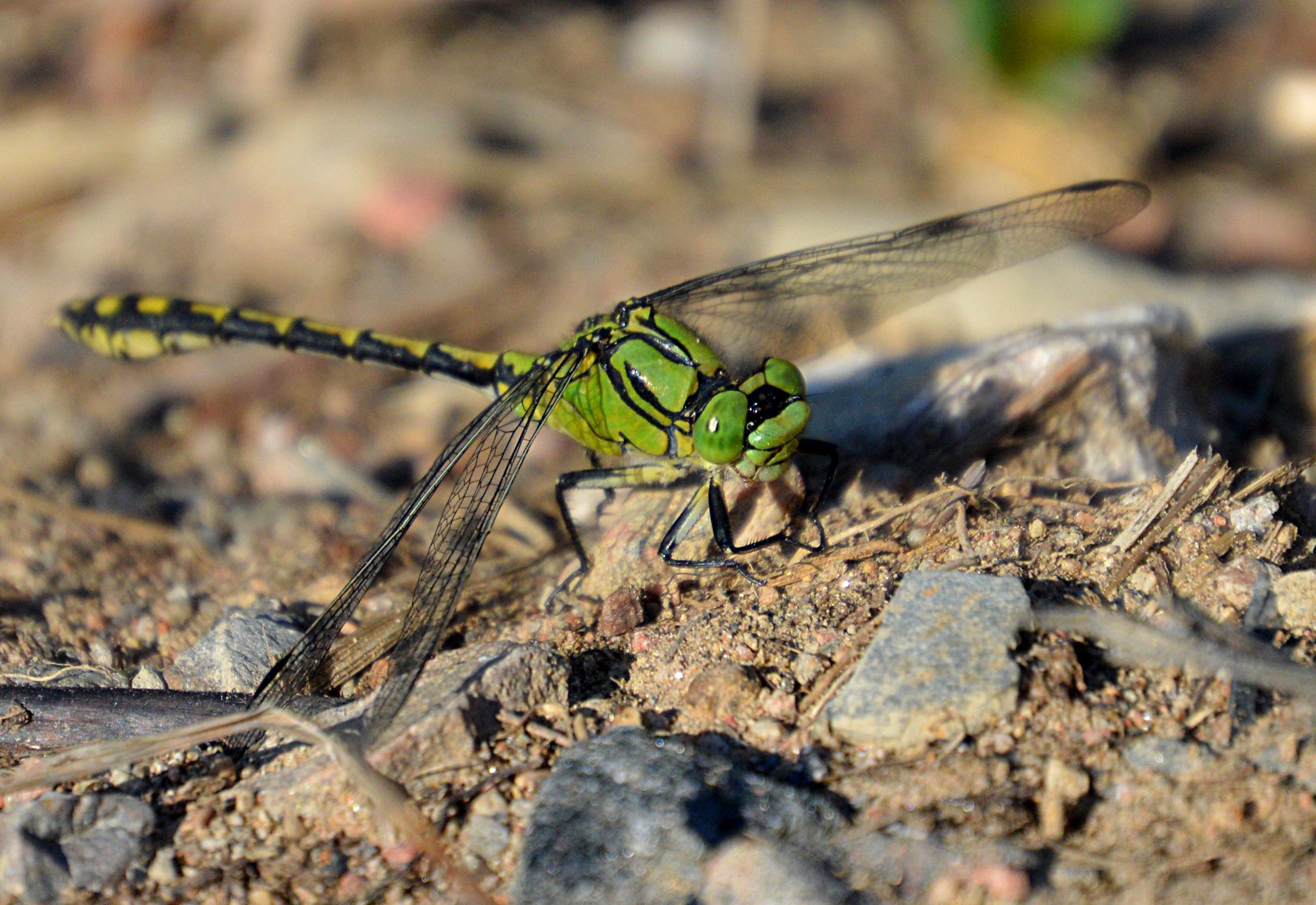 Grön flodtrollslända. Ophiogomphus cecilia. Foto: Magnus Billqvist
