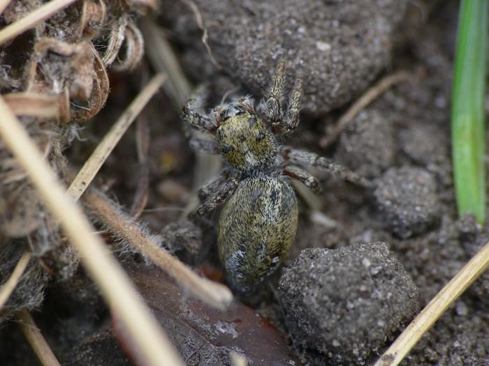 "Spjuthoppspindel ""Dendryphantes hastatus"". Foto: Sven Johansson"