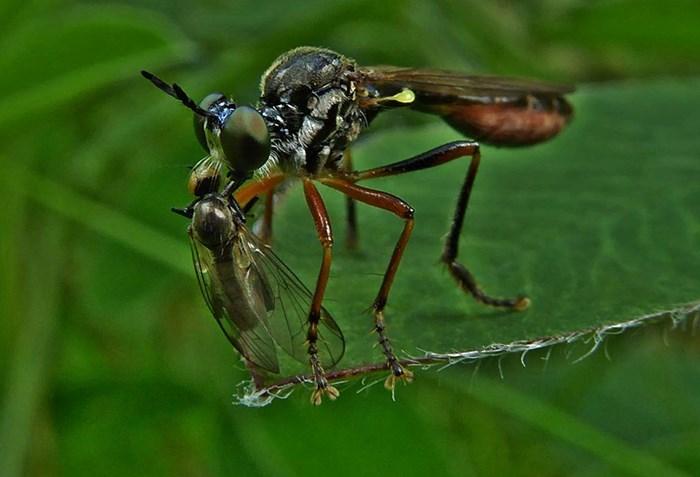 Foto 5. Rovfluga Dioctria oelandrica med bytesfångst. Foto. Solveig Hagfors.jpg