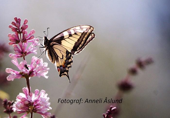 """Foto 10. Makaonfjäril """"Papilio machaon"""" fotad i norra Västerbotten inland i en by som heter Grannäs nära Röjnoret. Fotad lördagen den 1 juli när den fladdrade runt på syrenblommorna. Foto: Anneli Åslund"""