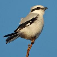 Varfågel. Foto: Niclas Ahlberg