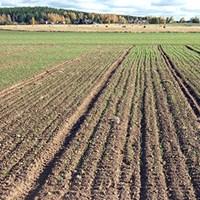 winter-wheat-hedemora.jpg