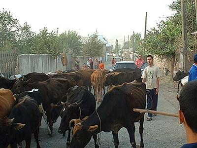 Cattle_Tajikistan_Photo_Ulf_Magnusson_web-880.jpg