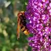 Blomflugan Volucella zonaria, ny art för Sverige. Foto: Anders N. Michaelsen