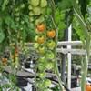 Tomatberit haggren.jpg
