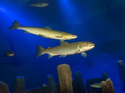 Några av invånarna i rovfiskakvariet. Foto: Mark Harris för SLU.