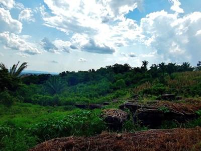 Cacao plantation, Mvfarell, Ixcacao Mayan Chocolate, Belize
