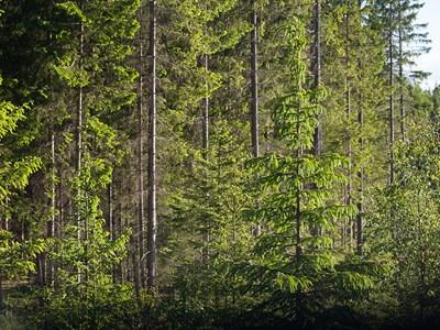 Produktionsskog. Foto: Jenny Svennås-Gillner, SLU