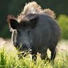 12265331-wild-boar-in-the-meadow_Mostphotos300px.jpg