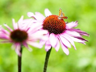 garden-rudbeckia-880x660.jpg