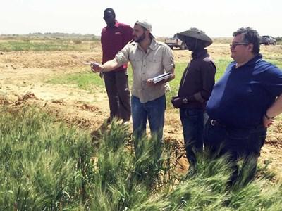 Inspektion av durumvetefält. Rodomiro Ortiz står längst till höger. Foto: SLU