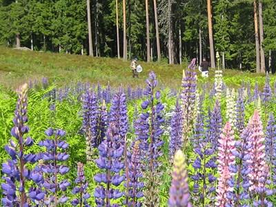 Lupiner Lupinus. Foto: Ingrid Nordqvist Johansson