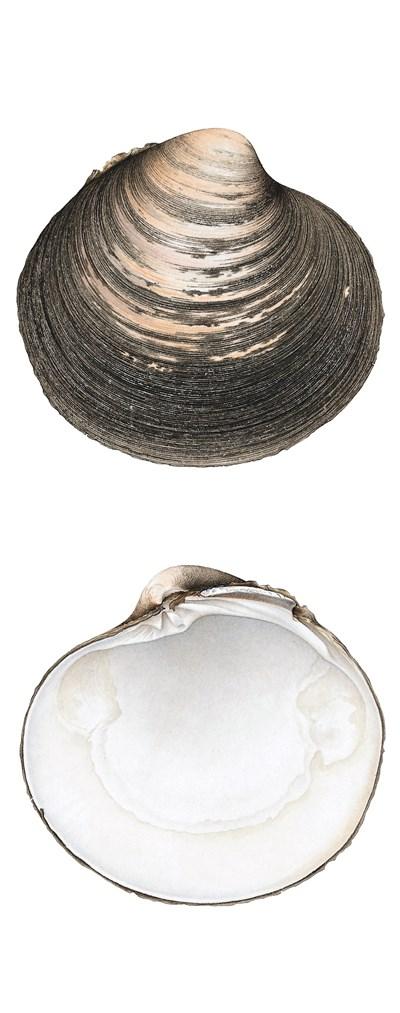 Islandsmussla Arctica islandica. Illustration: Helena Samuelsson