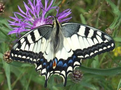 Makaonfjäril (Papilio machaon). Foto: Sanna Nordström