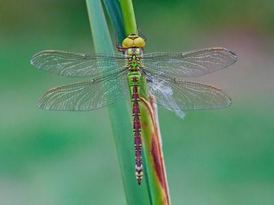 Grön mosaikslända (Aeshna viridis). Foto: Christer Bergendorff 2