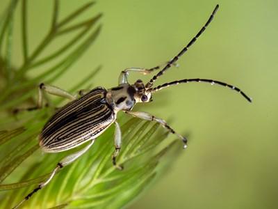 Spetsstrimbock (macroplea appendiculata). Foto: Krister Hall