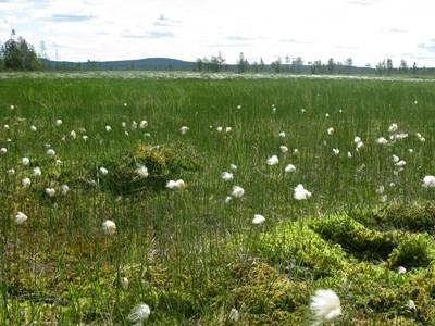 Våtmark, Lommimyran Murjek. Foto: Sebastian Sundberg