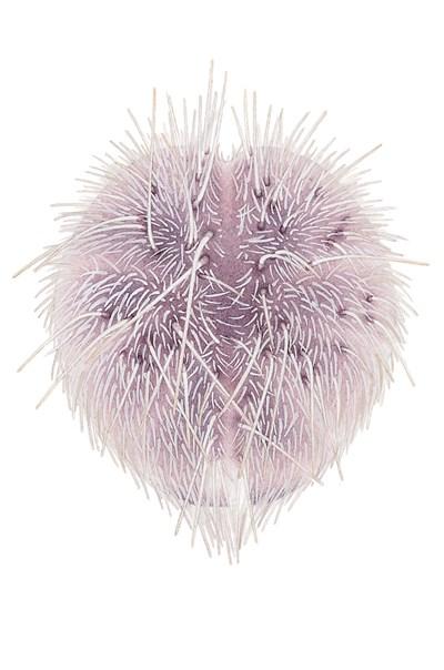 Purpursjömus Spatangus purpureus. Illustration: Helena Samuelsson