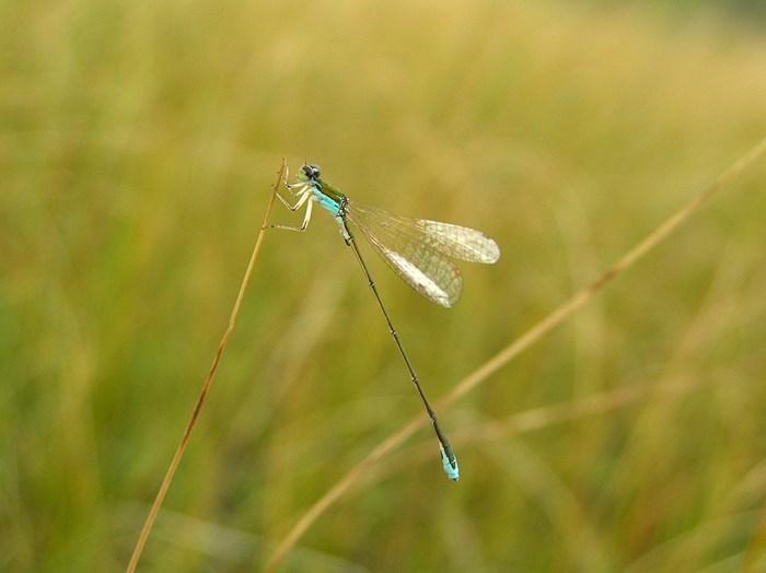 Grön mosaikslända. Nehalennia speciosa. Foto: Magnus Billqvist.