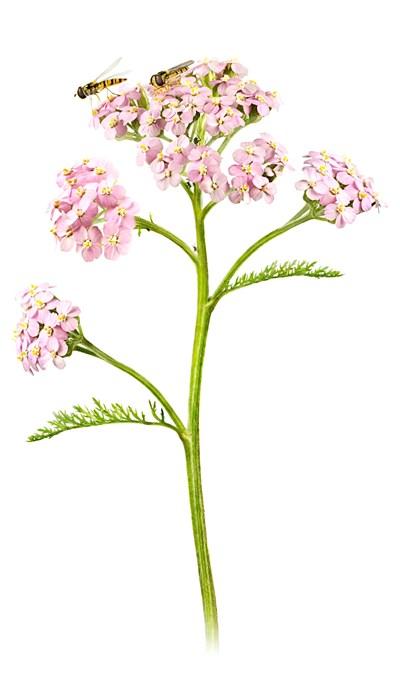 artdatabanken-rölleka-Achillea millefolium.jpg