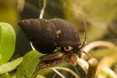 Stor snytesnäcka (Bithynia tentaculata). Foto: Jonas Roth