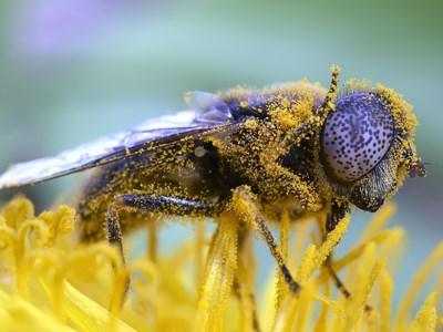 Tångslamfluga (Eristalinus aeneus). Foto: Krister Hall