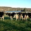 Kor på bete, foto.