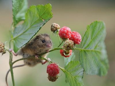 Liten mus som klättrar på en hallonbuske