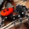 Svart spindel med röd bakkropp med svarta prickar. Foto.