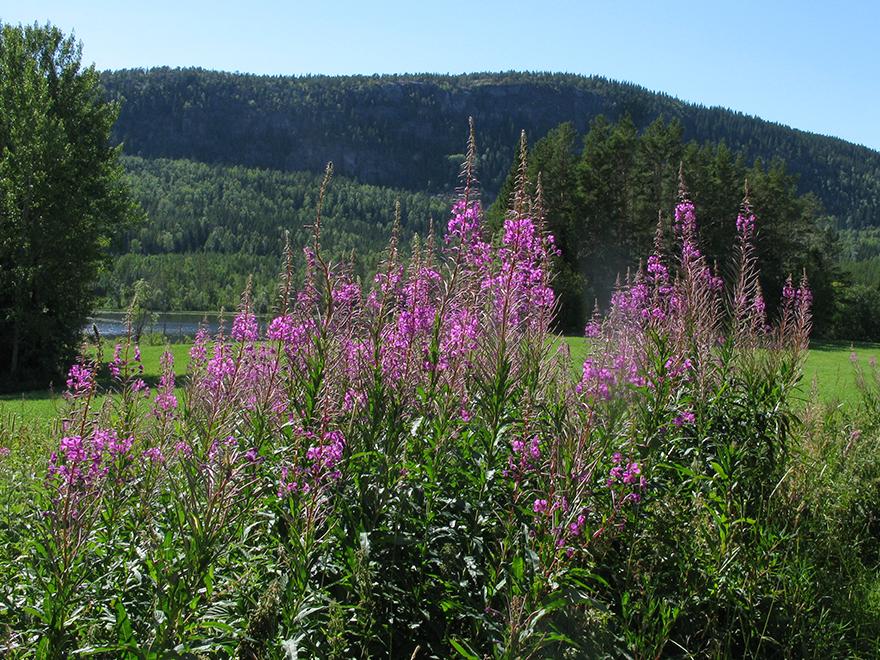 I förgrunden lila blommor. I bakgrunden granklädda berg