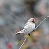 Gråvit fågel med röd fläck i pannan sitter på gren. Foto