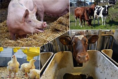 Kor, grisar och fjäderfä på Lövsta lantbruksforskning, foto.